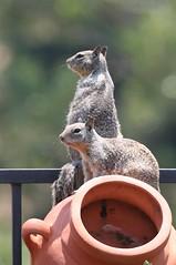 Day 80 - Ground Squirrels