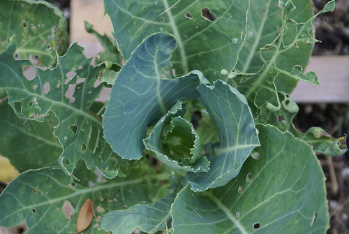 new broccoli growth after cabbage moth attack