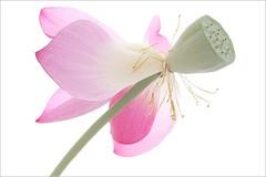 Flower Macro: Pink Lotus -  IMG_6652 - , , ,  , Fleur de Lotus, Lotosblume, , , (Bahman Farzad) Tags: pink inspiration flower macro fleur yoga de truth key peace lotus relaxing calming peaceful teacher hi meditation therapy elegant inspirational spiritual simple onwhite soulful heavenly tatto peacefulness devine   lotusflower therapist lotusflowers lotuspetal  lotuspetals  estremit lotosblume   soulfulflower lotusflowerpetals lotusflowerpetal