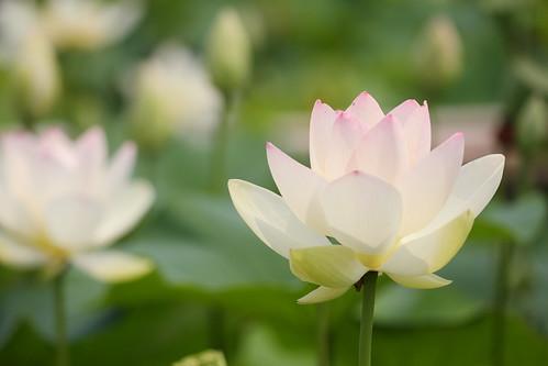 A White lotus!