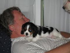 Chewie rests on James. (kathy_petlewski) Tags: michelle chewie cavalierkingcharlesspaniel kathypetlewski