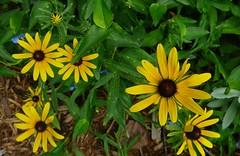 More Susans (onlylynne) Tags: flower blackeyedsusan