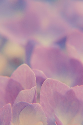 Purple Tinted Petals