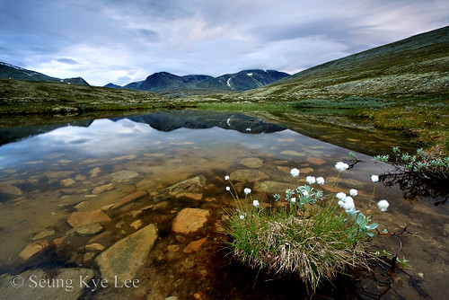 Rondane - Eriophorum And Storronden Peak At Dawn