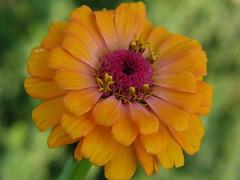 Zinnia (audreyjm529) Tags: pink orange flower macro yellow canon stamen zinnia anther naturethroughthelens
