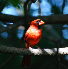 Male Northern Cardinal (*Cristiana*) Tags: summer backyard nikon cardinal malecardinal naturesfinest backyardbirds digitalcameraclub defendersofwildlife indianabirds beautifulbirds mywinners platinumphoto thewonderfulworldofbirds picturesofcardinal springoutsidetnc09