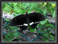 Common Mormon (Papilio polytes), a male with wingspan about 10cm