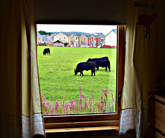 2/365 - window cow (Brodgar) Tags: window field angus aberdeen 365 2365 inchture