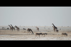 Wild Wideness (It's Stefan) Tags: africa water animal animals landscape mammal liberty freedom view horizon salt silhouettes free paisaje ostrich wilderness mammals landschaft namibia weite horizont horizonte oryx etosha wildebeest zebras wideopenspace straus  giraffen etoshapan wideness greatwideopen giraffs vastexpanses