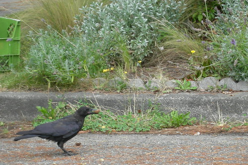 Crow & Parking Strip Garden