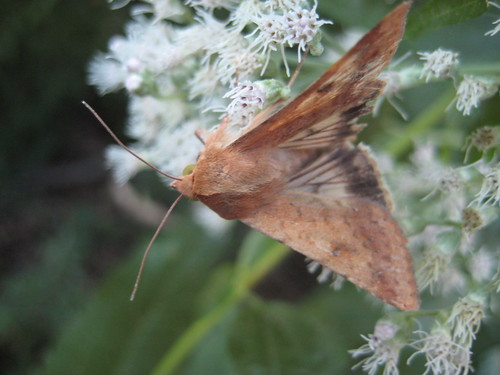 little brown moth