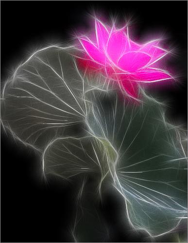 Pink Flower (Lotus) - Fractalius / nature / - IMG_6843 - زهرة اللوتس, ハスの花, 莲花, گل لوتوس, Fleur de Lotus, Lotosblume, कुंद, 연꽃
