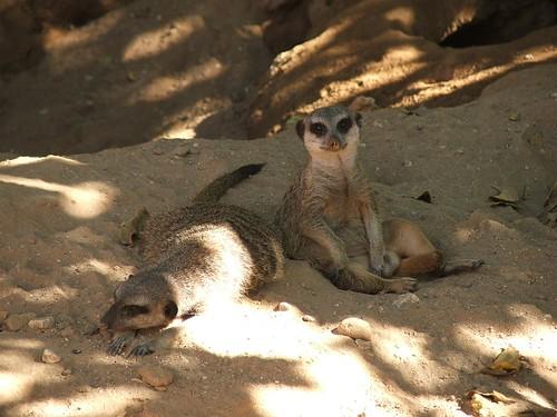 Resting Meerkats