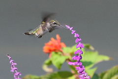 Ruby Throated Hummingbird (Rick Shackletons Photographic Adventures) Tags: factory rick shackleton challenge rubythroatedhummingbird the floridawildlife corkscrewswampsanctuary floridawetlands theperfectphotographer thechallengefactory colliercountyflorida floridasanctuary floridahummingbirds rickshackleton