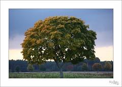 Cool tree (BigBalu1978) Tags: autumn trees sunset tree fall nature leaves sonnenuntergang laub herbst foliage greenery baum treesubject bigbalu1978