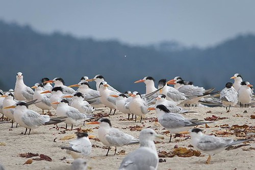 Elegant Terns by you.