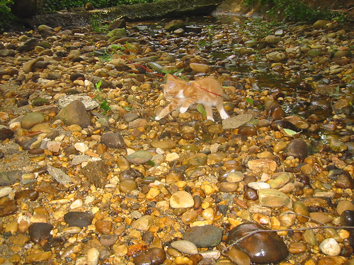 20080914 - cats visit our creek - 168-6807 - Lemonjello - walking on rocks - please click through to leave a comment on FlickR