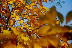 Golden Leaves (cstein96) Tags: autumn sun fall nature leaves outdoors gold virginia nationalpark bokeh hiking shenandoahvalley oldragmountain printable ruralvirginia nikond40x