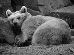 No Steiff-Teddy (Glatze mit Kamera) Tags: bear 2 blackandwhite bw white black animal germany grey 1 top 2008 soe tier br nationalgeographic peopleschoice potofgold doubledragon goldenglobe hiddentreasure syrianbrownbear blackwhitephotos syrischerbraunbr golddragon worldbest diamondheart platinumphoto impressedbeauty givemeyourbestshot onlyyourbestshots explorerbound diamondclassphotographer flickrdiamond chrystalaward theunforgettablepictures diamondstars photostosmileabout picturefantastic elitephotography theperfectphotographer photosthatrock dragongoldaward thebestofday gnneniyisi picturesworth1000words dragonawards memoriesofalifetime rubyphotographer qualitypixels flickrballoonaward photographersgonewild showmemagic goldenheartaward monkeyawards exemplayryshots galeriadeimagems natureisall torstenhofmann newenvyofflickr realgem einseinszehn