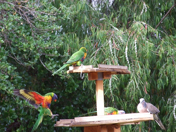 rainbow lorikeets in action 02