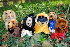 Happy Halloweenie! (Doxieone) Tags: dog brown english halloween garden toys long dolls cream dachshund haired doxie longhaired cosumes halloweenfall2008set
