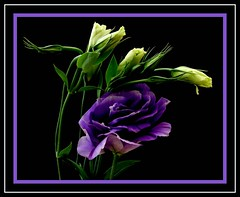 Lisianthus (Vanda's Pictures) Tags: flowers blue white petal vanda buds excellence lisianthus goldstaraward