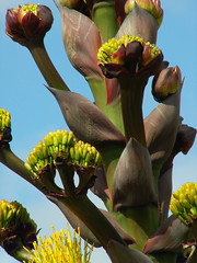 Magnificent Agave (cobalt123) Tags: blue red arizona plant green nature yellow composition contrast giant zoom tucson maroon agave sculptural stalk arizonasonoradesertmuseum centuryplant asdm agaveamericana agaveamericanaexpansa