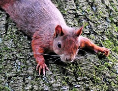 Squirrel (Habub3) Tags: nature animal fauna forest photo nikon squirrel wald baum tier eichhrnchen d300 eichhoernchen naturesfinest supershot abigfave platinumphoto theunforgettablepictures goldstaraward flickr2009 habub3