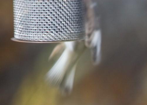 Oddball House Sparrow