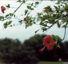 Park flower I (Sean Lowcay (sealow08)) Tags: flower slr film 35mm singapore minolta minoltax700 x700 kodakultramax400