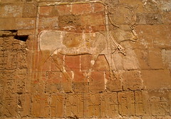 #Hathor in the form of a divine cow  / Upper Egypt (ديرالبحري) (Σταύρος) Tags: life africa vacation holiday wall writing temple cow etching sand ancient ruins flickr king tour desert northafrica drawing westbank 911 egypt queen architect pharaoh publicart september11 ankh ramadan rtw wallpainting egitto 18thdynasty vacanze hieroglyphs hatshepsut roundtheworld ancientegypt afrique مصر hieroglyph hathor antiquities wallpaintings globetrotter greathouse northernafrica djed deirelbahri hatshepsutstemple templeofhatshepsut 埃及 runis djeserdjeseru vizier hatchepsut mortuarytemple worldtraveler upperegypt templeofhathor wallcarvings mortuarytempleofhatshepsut privatetour templeofdeirelbahri hatshepsutsmortuarytemple ديرالبحري hathortemple hathorchapel hatshepsutmortuarytemple divinecow formofadivinecow hathorintheformofadivinecow ราชวงศ์18 desertumafricanum