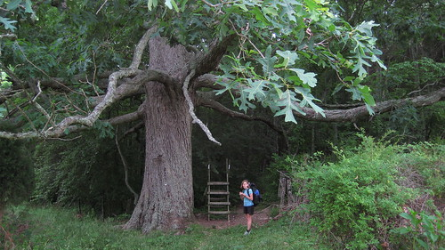 A 300 Year Old Oak