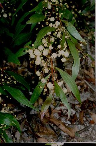 acacia bivenosa (Mimosaceae) Brimbin Res nr Taree NSW1