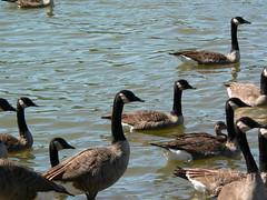 P1000062 (MeRyan) Tags: public birds rivers
