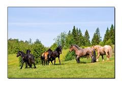 Horses (Swede66) Tags: horses horse free running stallion