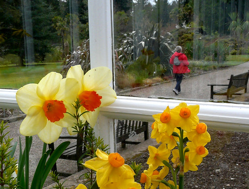 Glasshouse narcissi 06Apr09
