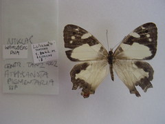 Aphysoneura pigmentaria