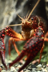 Crayfish (Spice  Trying to Catch Up!) Tags: red pet color macro art water japan canon geotagged asian photography eos photo interesting eyes asia flickr colours image photos wordpress creative picture vivid blogger livejournal explore photographs photograph collections lobster  safe portfolio vox crayfish claws gettyimages facebook  friendster multiply larawan smallanimal  twitter colorpicture creativeimages canoneos50d colorimages aplusphoto   twitpic   2009