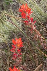 DSCN1403 (micromero) Tags: california flowers marin headlands wildflowers marinheadlands