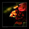 Days Without You [explored] (e.nhan) Tags: flowers light red black flower art nature closeup landscape colorful colours shadows dof bokeh arts backlighting enhan