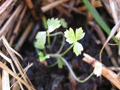 Celery seedling