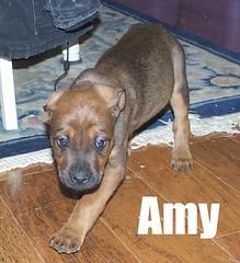 Amy (muslovedogs) Tags: mastiff rottweiler mastweiler zeusoffspring myladyoffspring