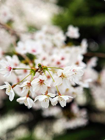 桜080403