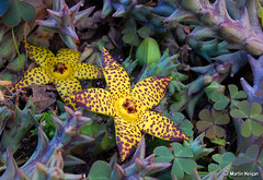 Orbea speciosa flowers (Martin_Heigan) Tags: camera flower macro nature yellow natal digital river southafrica succulent nikon close martin photograph styles buds d200 dslr geel dga vetplant kwazulu orbea asclepiadaceae speciosa blom suidafrika 60mmf28micro 3040 asclepiad stapeliad blomme nikonstunninggallery heigan wsnbg 24march2008 mhsetstapeliads mhsetflowers mkomaas