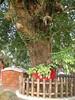 竹山鎮中和里救人老茄苳樹DSCN0201
