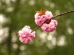 Pink Blossom (johan.pipet) Tags: pink flower color tree nature canon eos spring blossom bokeh palo bartos 400d efs55250 awesomeblossoms barto
