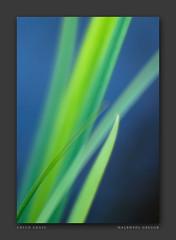moving green grass (gregor H) Tags: grass garden spring bokeh natur bluesky fresh lemongrass greengrass firstquality hbw greenbokeh pprowinner alemdagqualityonlyclub