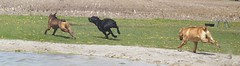 Napoleon, Maggie, Rex (muslovedogs) Tags: playing dogs maggie napoleon rex canecorso mastweiler