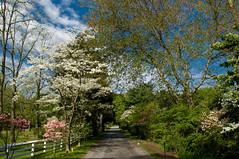 No HDR Necessary (nosha) Tags: ny flower nature beauty longisland dogwood hdr redbud nothdr noshalikes