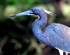 Tri-Colored Heron (Apryl Wiese) Tags: bird wildlife wetlands avian tricoloredheron avianexcellence diamondclassphotographer flickrdiamond naturethroughthelens